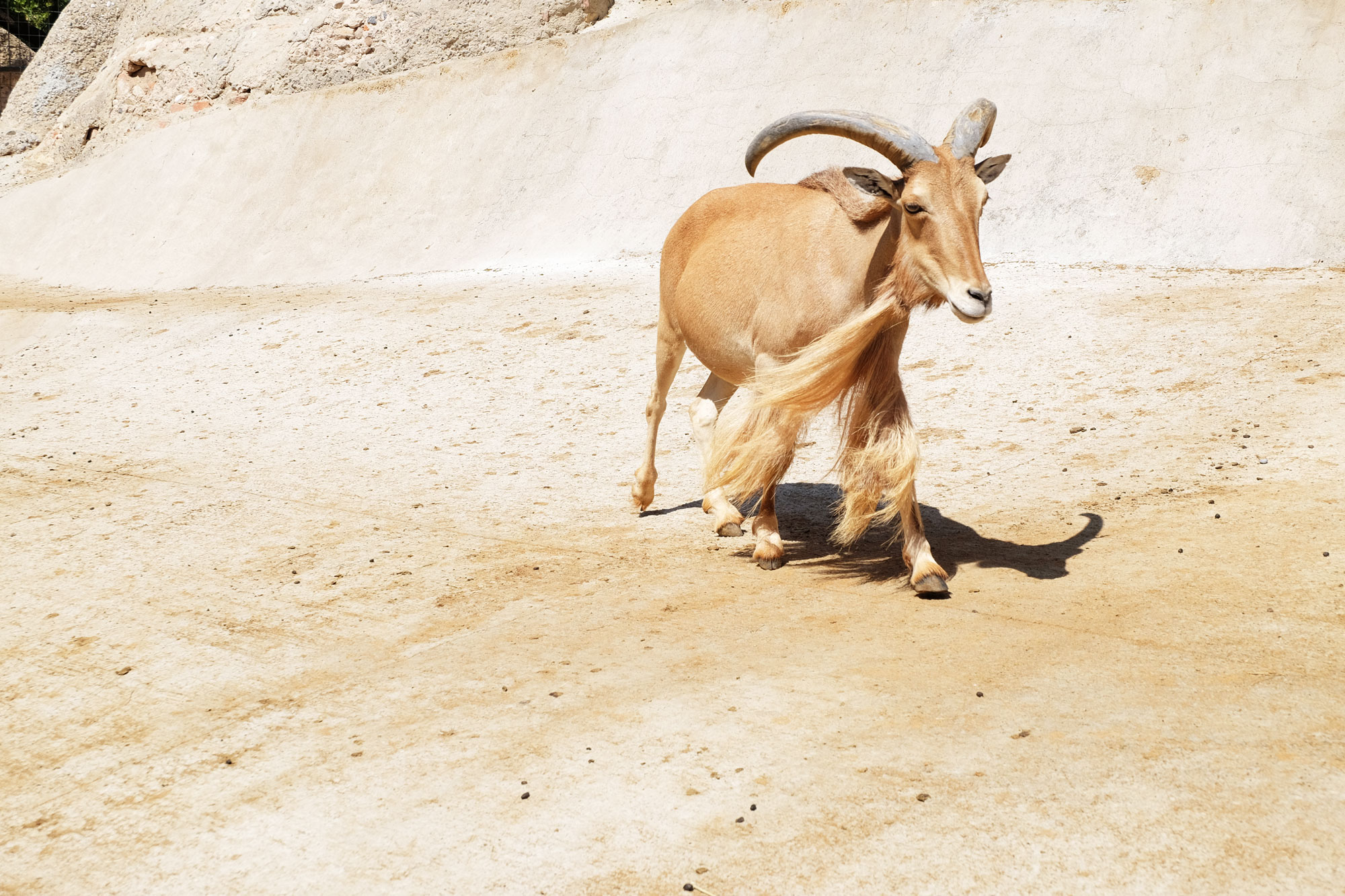 zoo-barcellona-capra
