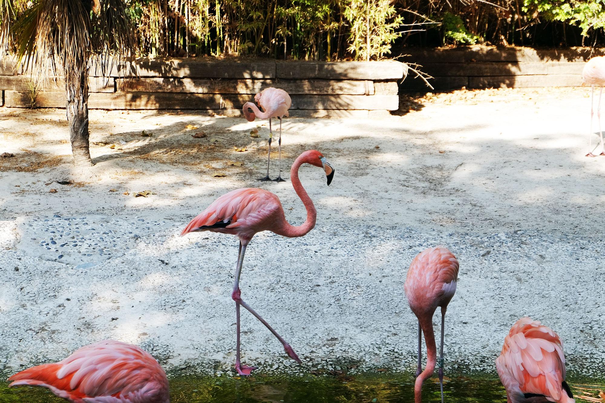 zoo-barcellona-fenicottero