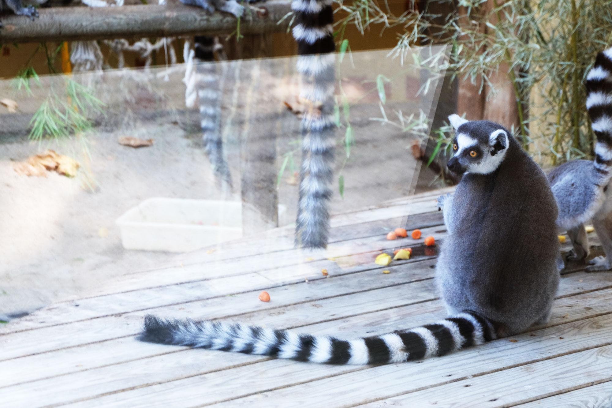 zoo-barcellona-lemure