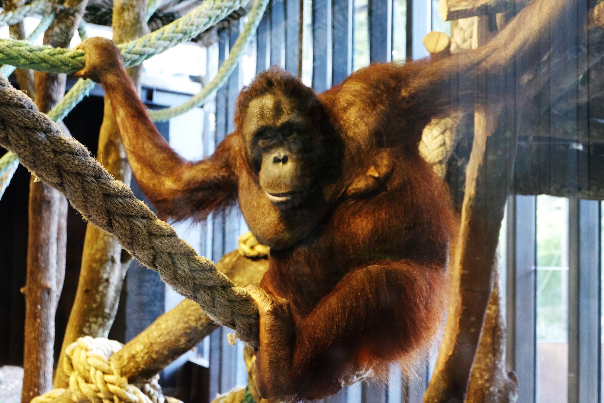 zoo-barcellona-orango