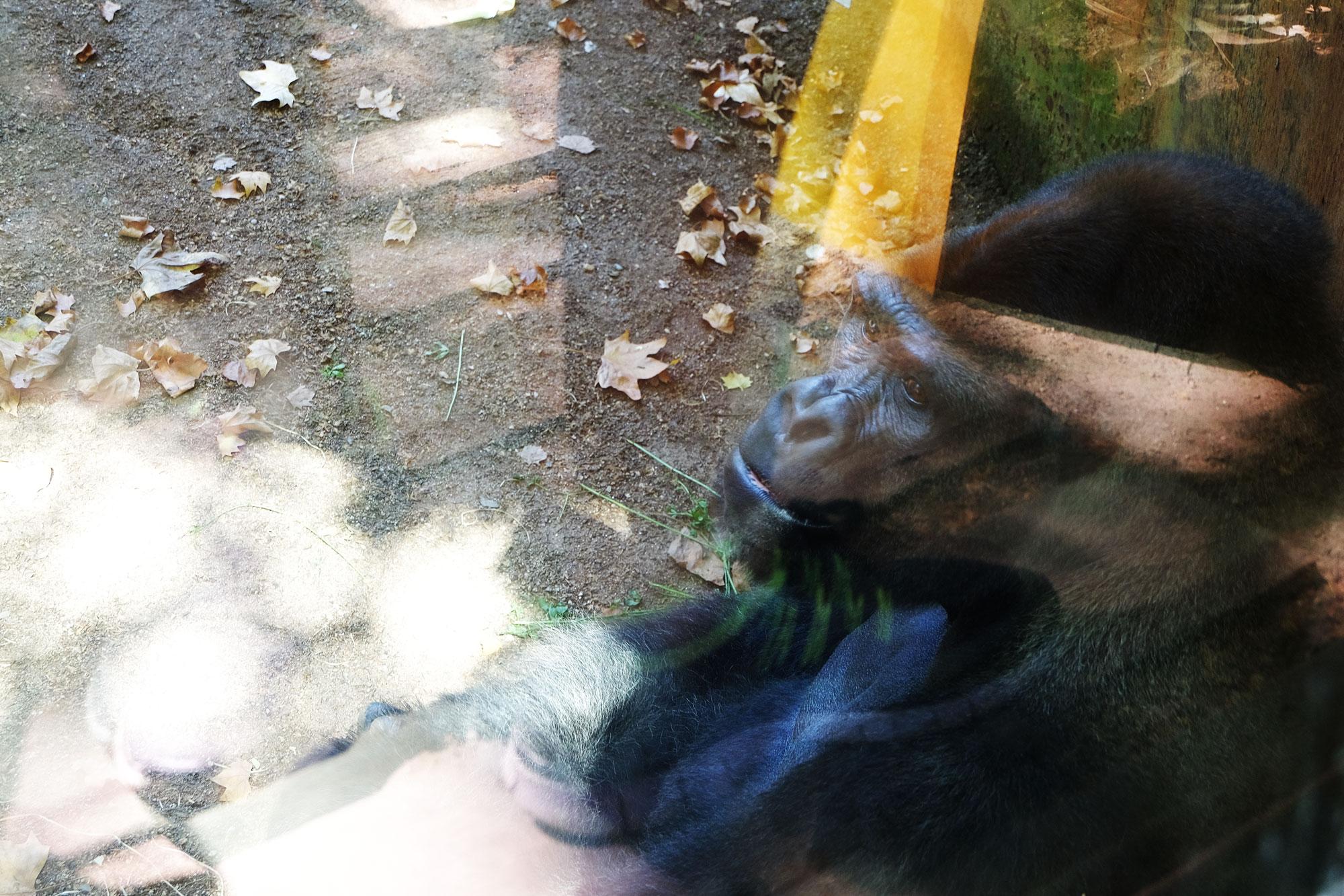 zoo-barcelona-gorilla