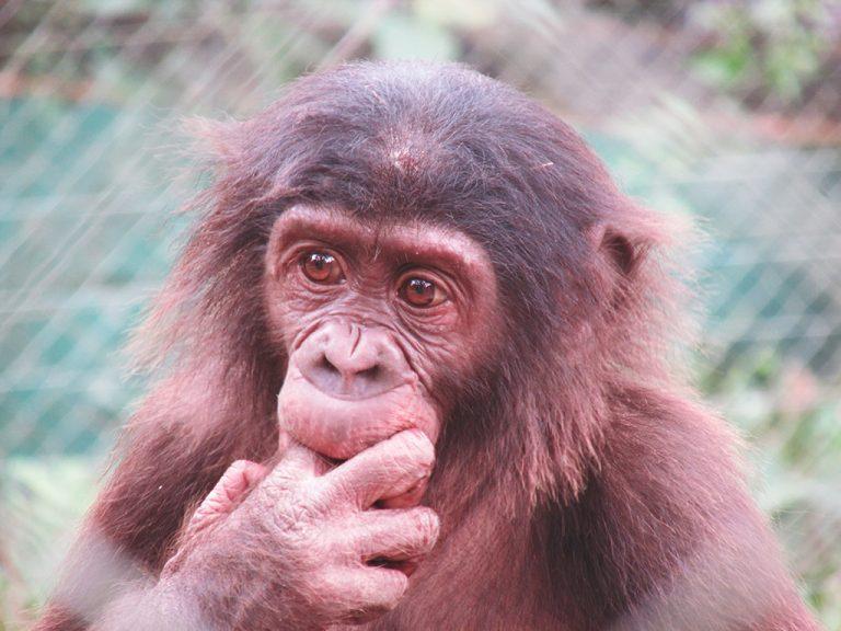 Bonobo Congo