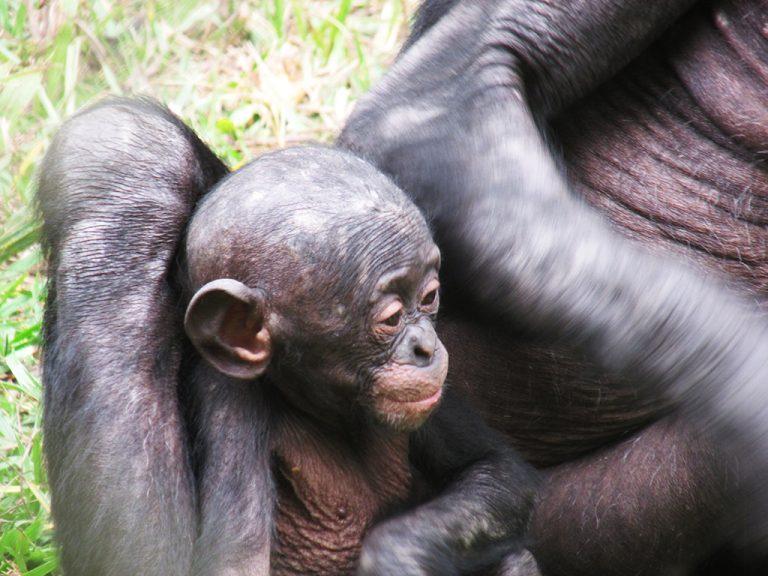 Bonobo cucciolo