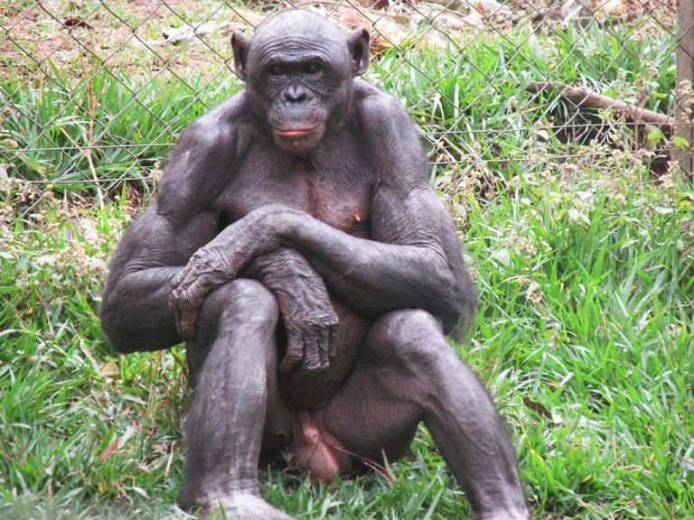 Bonobo scimmia
