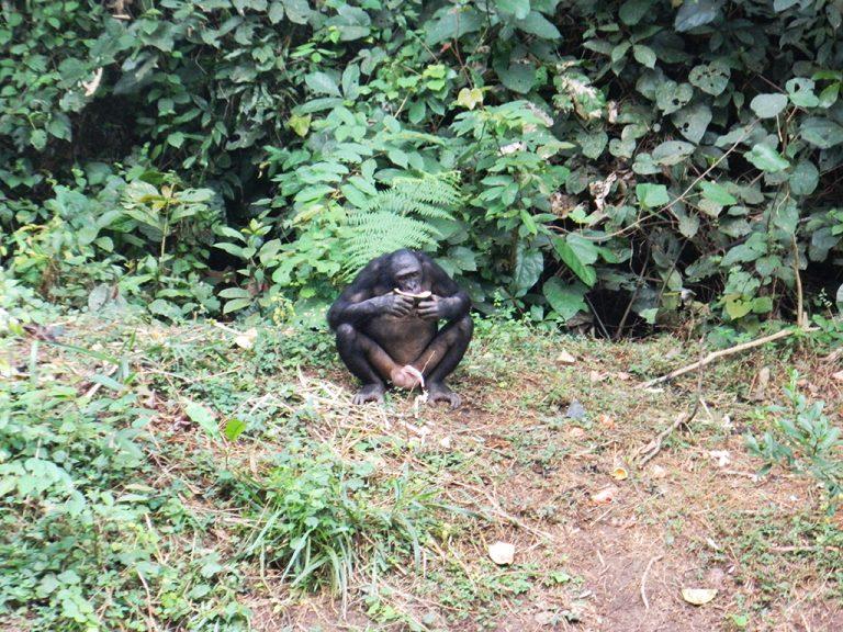 Bonobo sesso