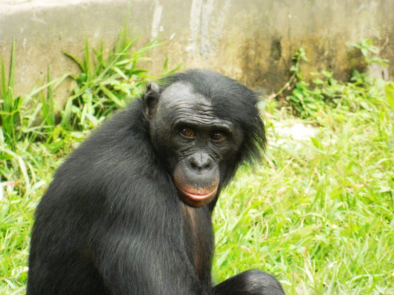 Bonobo sguardo
