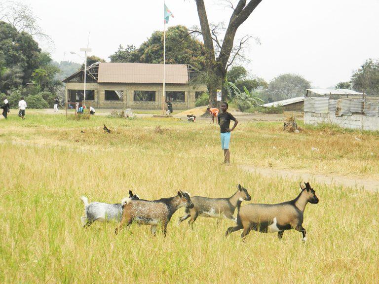 Congo capre