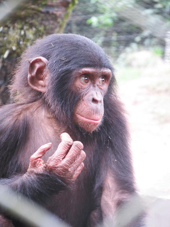 Congo Lola Ya Bonobo