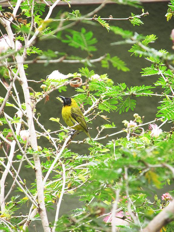 Uccello Congo